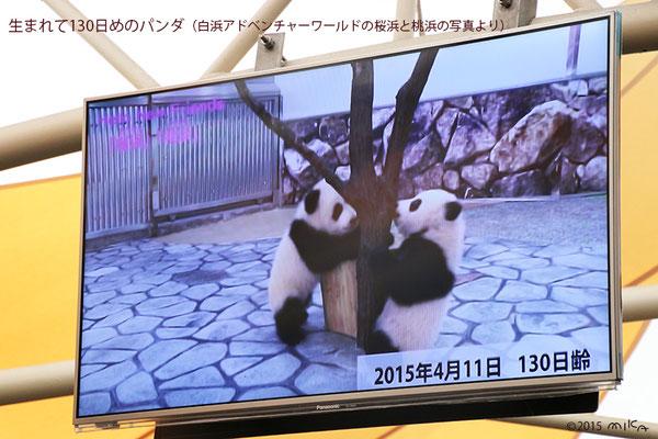 生後130日めのパンダの赤ちゃん(白浜アドベンチャーワールド)2015年