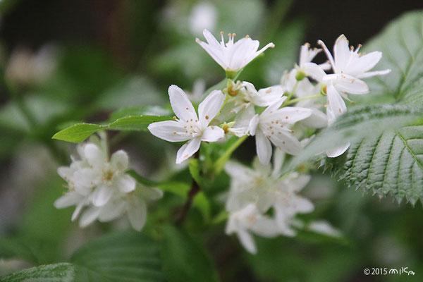 卯の花(うつぎの花)