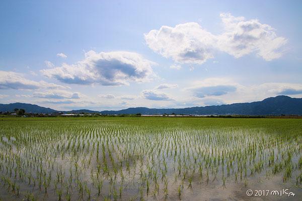 田植え(琵琶湖周辺)