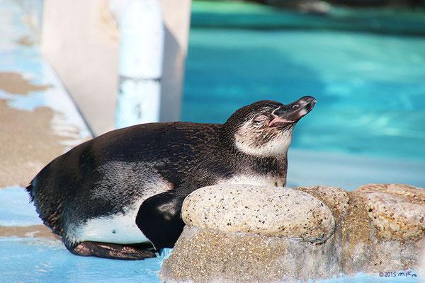 ペンギン おねんね(王子動物園)