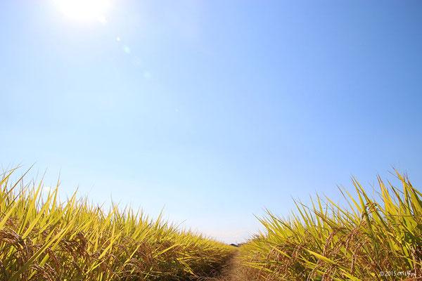 収穫直前の田