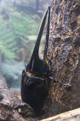 ネプチューンオオカブトムシ(伊丹市昆虫館)