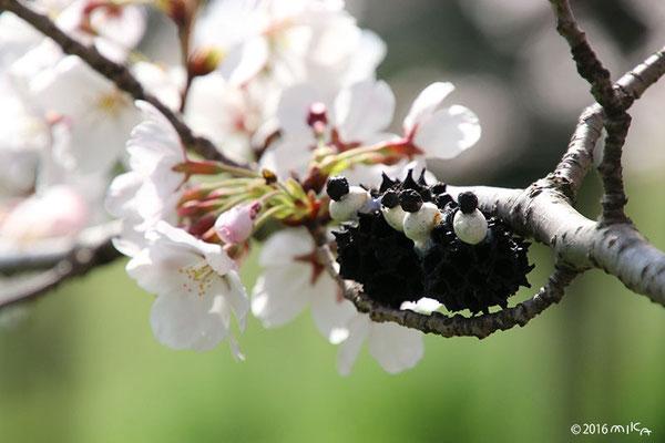 冬来りなば 春遠からじ(お花見のくろすけ)②