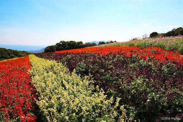 カラフルなサルビアの花畑(あわじ花さじき/9~10月)