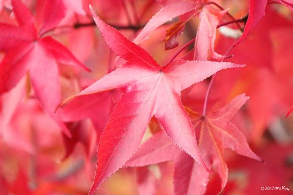 紅葉したモミジバフウ(アメリカフウ)紅葉