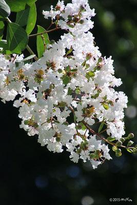 サルスベリ(白)