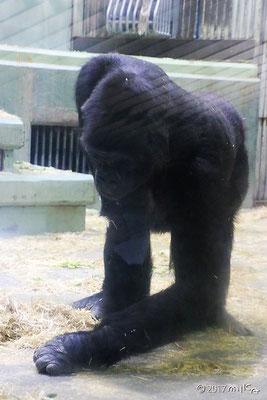 シャバーニ(東山動物園/2017年)