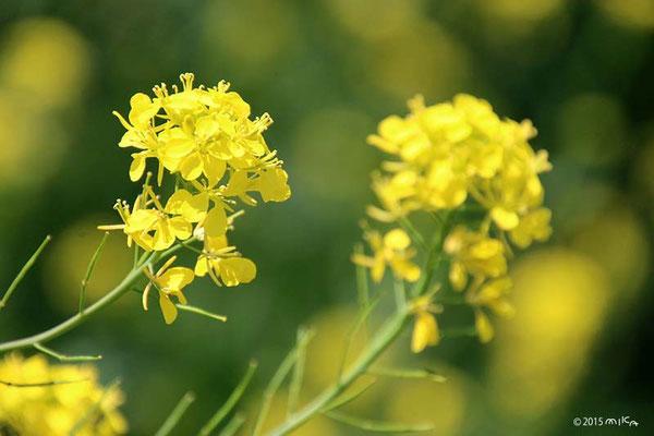 春の菜の花(アブラナ)