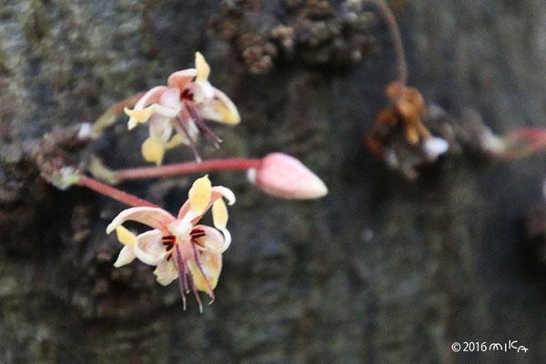 カカオの花