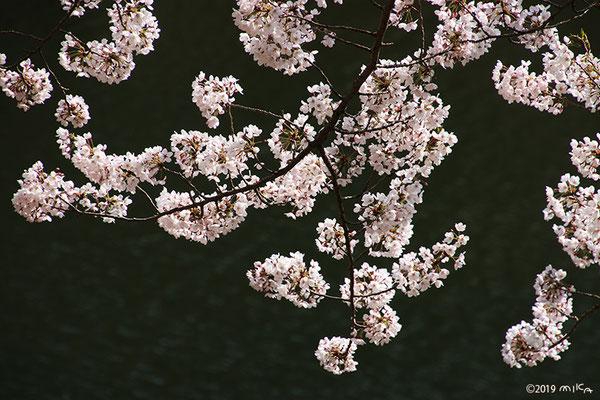 ダム湖のほとりのソメイヨシノ