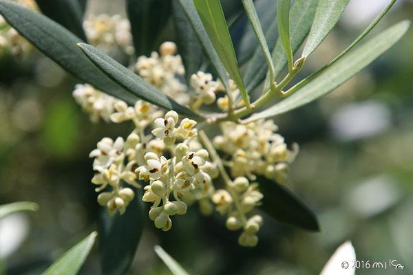 オリーブの花①