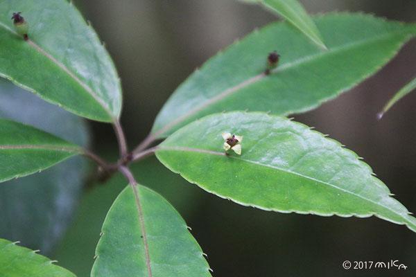 ヒマラヤハナイカダの雌花(めばな)花が1つ