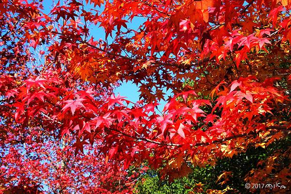 モミジバフウ(アメリカフウ)の紅葉