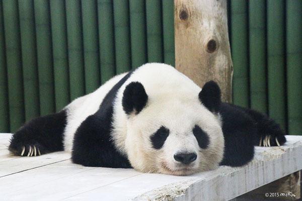 タンタンおねんね(神戸市立王子動物園)