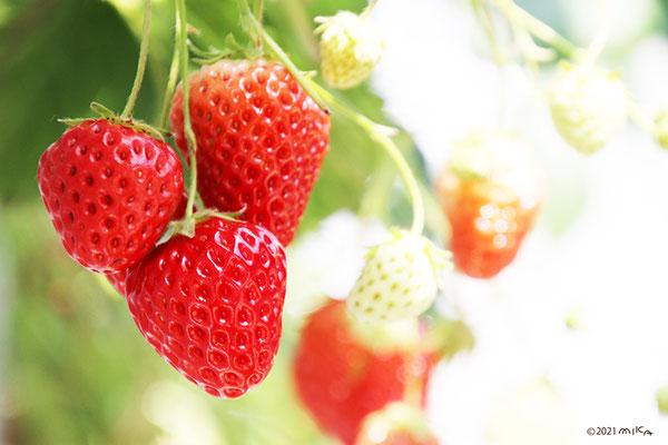 イチゴの果実①