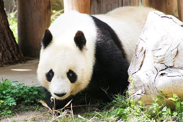 ひょっこり出てきたパンダ(神戸市立王子動物園)2021年