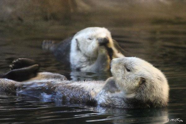 ラッキーと明日花(神戸市立須磨海浜水族園のラッコのオスとメス)
