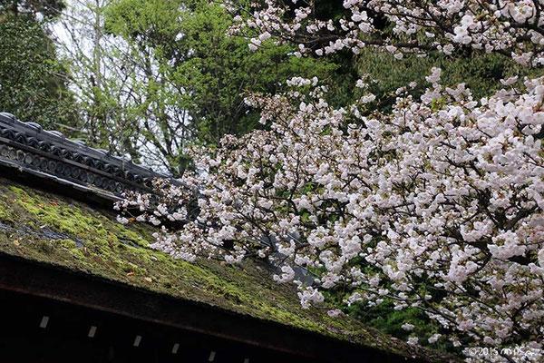 屋根の桜(平野神社)