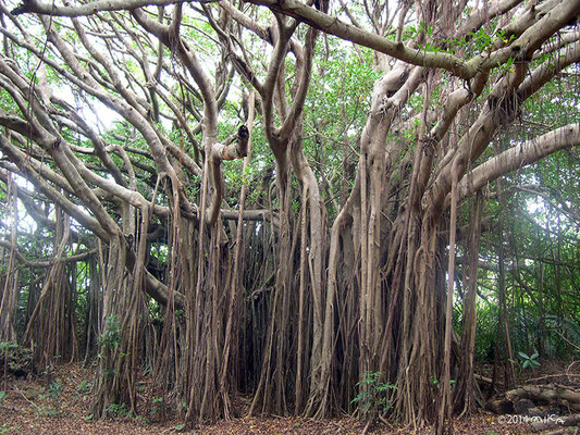 ガジュマルの林より(パナリ島・新城島)