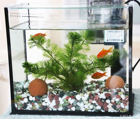 金魚の水槽(写真ははじめて用の横26cm程度のもの)
