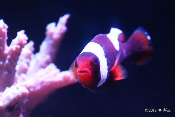 トウアカクマノミ(京都水族館)①
