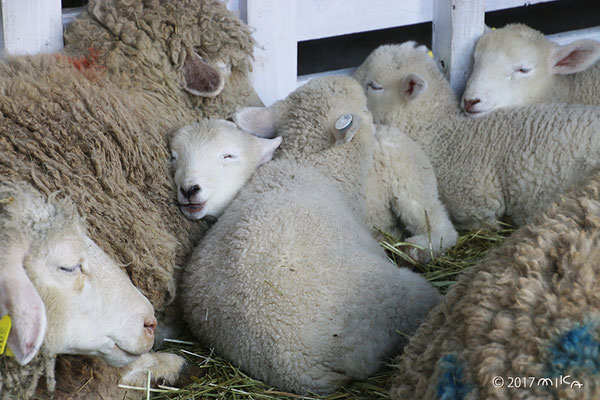 寝ている子羊たち②