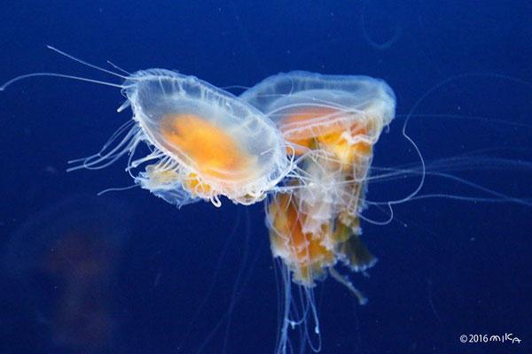並んだオキクラゲのなかま(海遊館)