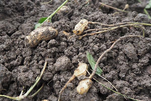 地面を掘り起こすと落花生の実が出てくる