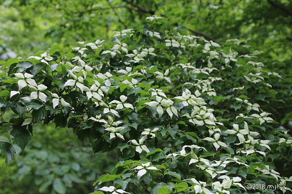 ヤマボウシの木(京都府立植物園)
