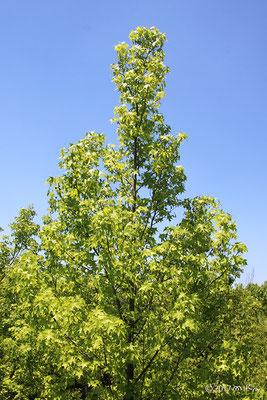 モミジバフウの木(初夏)