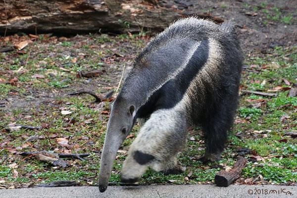オオアリクイ(斜めから)東山動物園