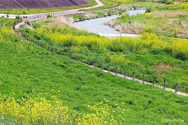 菜の花の堤防(4月)