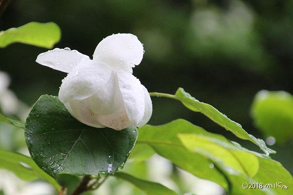 オオヤマレンゲ(咲きかけ)
