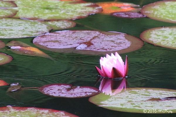 スイレン(神戸市立森林植物園長谷池)