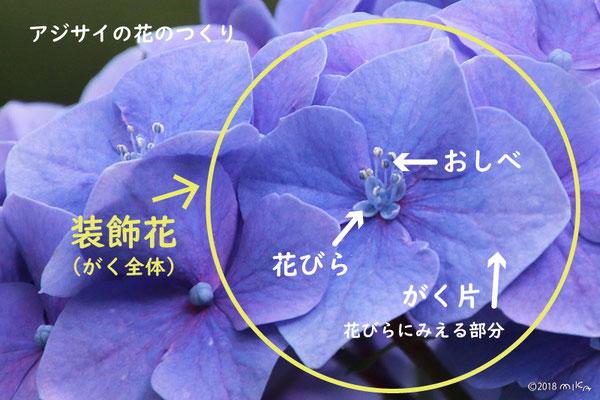 アジサイの花のつくり