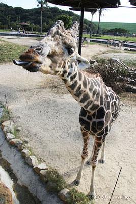 キリンの長い舌④(白浜アドベンチャーワールド)