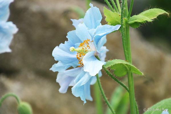 ヒマラヤの青いケシ(メコノプシス・ベトニキフォリア)②京都府立植物園