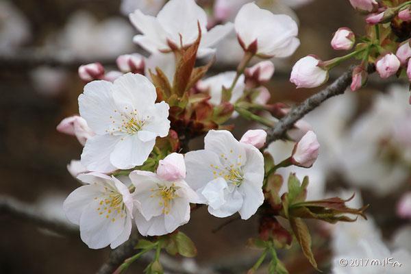 御室桜(御室有明)咲きはじめ