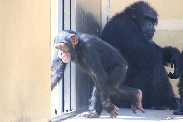 子どものチンパンジー(京都市動物園)