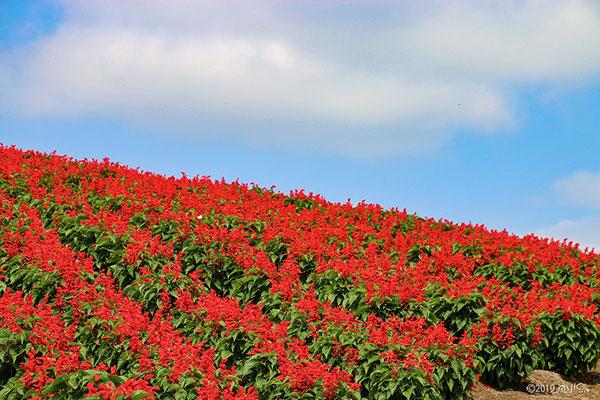 赤いサルビアの花畑