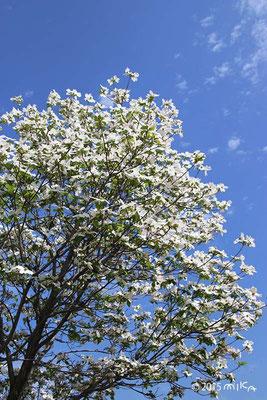 ハナミズキの木(白)