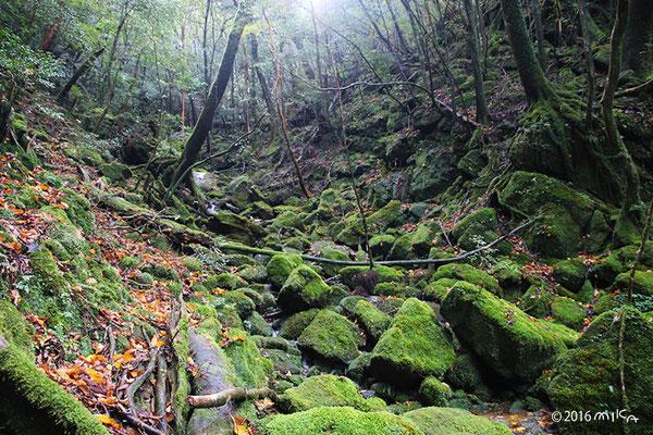 苔むす森(白谷雲水峡/屋久島)①