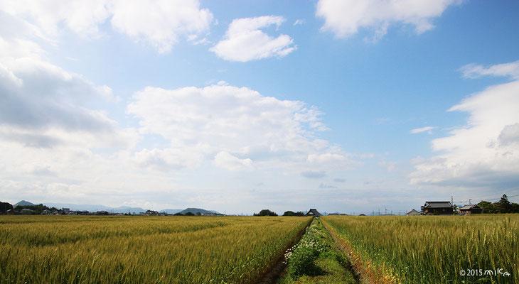 5月の麦畑(香川県)