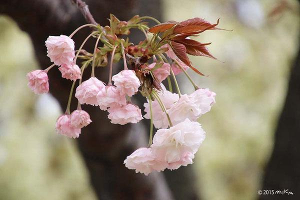 普賢象(ふげんぞう)平成20年の「今年の花」/造幣局桜の通り抜け