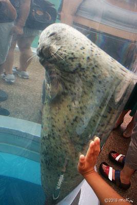 ゴマフアザラシ(京都水族館)②