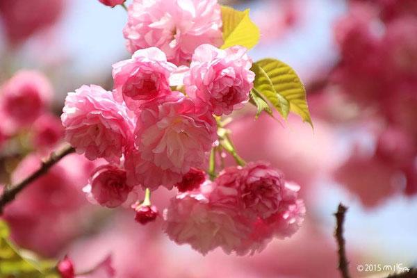 紅華(こうか)平成17年の「今年の花」/造幣局桜の通り抜け