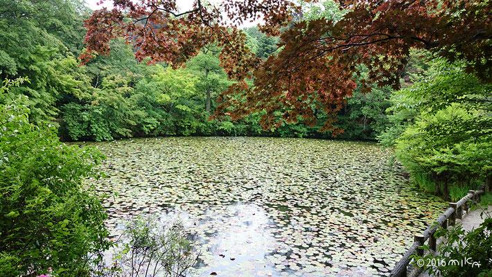 見ごろを迎えたスイレン池(神戸市立森林植物園)