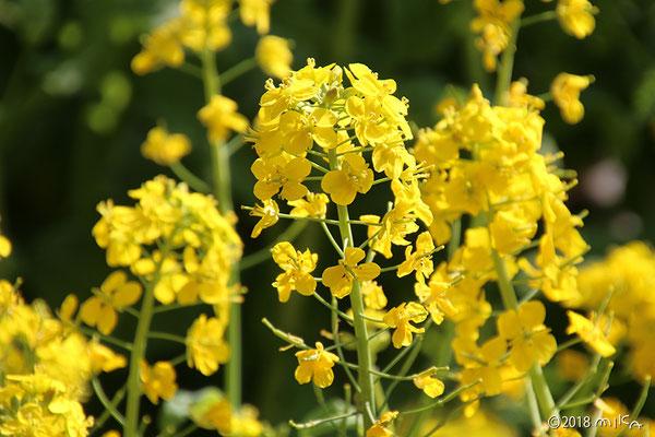 街中の菜の花(4月)