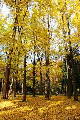 晩秋のイチョウの木(12月)