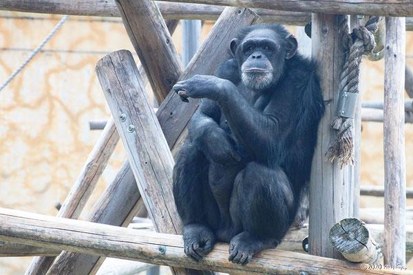 チンパンジー(人間によく似た座り方)
